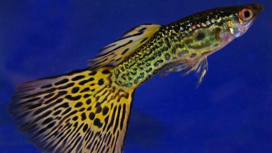 Los peces tienen personalidades más complejas de lo sospechado