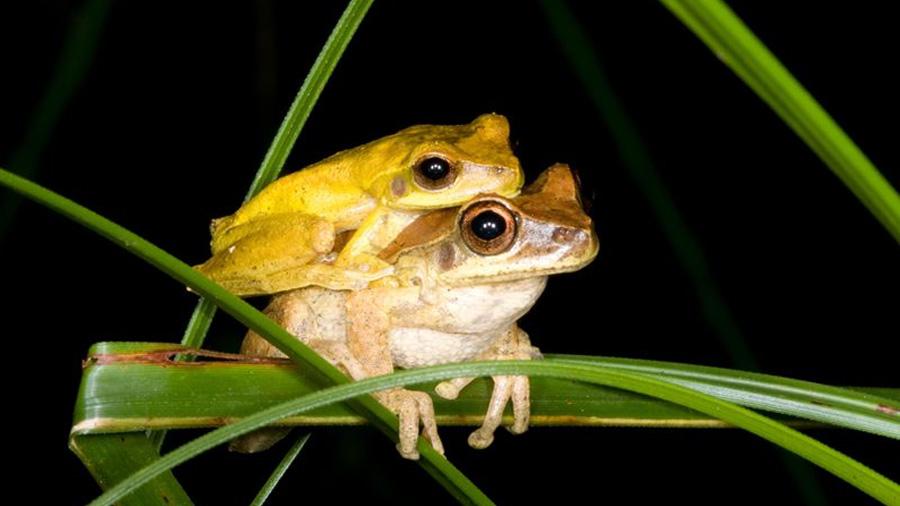 Las ranas se ponen amarillas durante el sexo