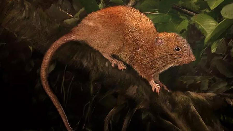 Descubren una rata gigante que se alimenta de cocos en las islas Salomon
