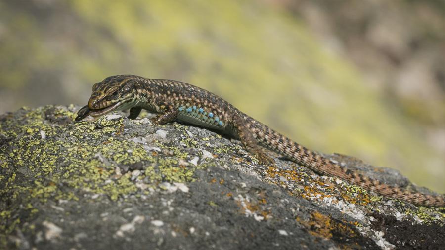 Las señales sexuales de los lagartos machos cambian con la dieta