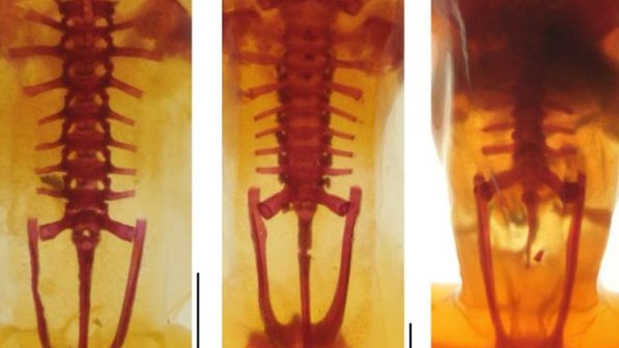 El esqueleto de la rana pirenaica, al descubierto