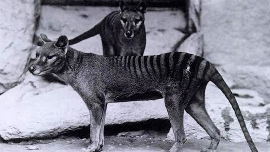 Los análisis de ADN revelan por fin cuál fue la causa de la misteriosa extinción de los tigres de Tasmania