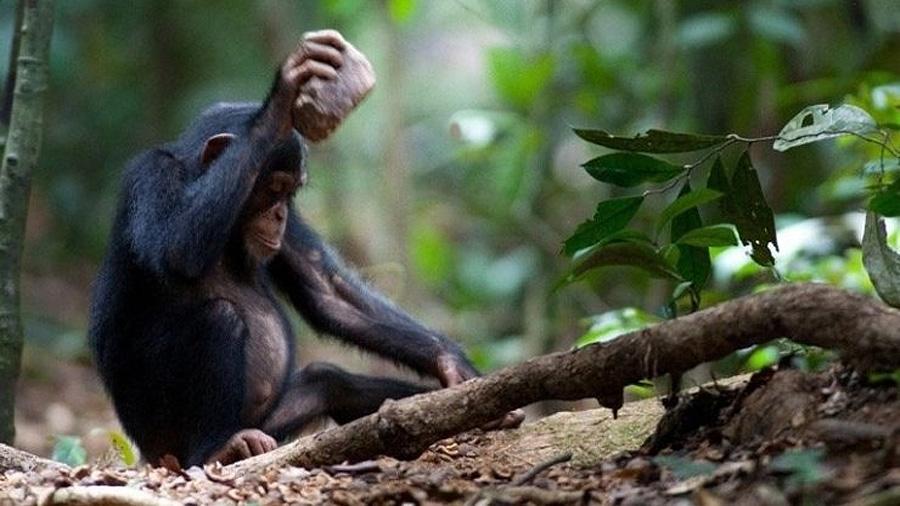 Los chimpancés pueden aprender a usar herramientas sin observar a otros