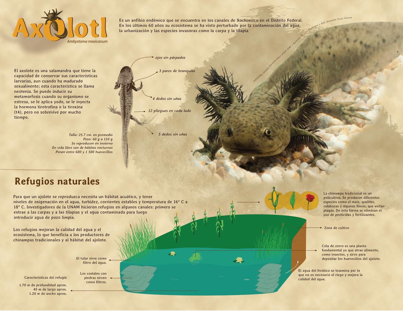 Axolot, anfibio endémico de los canales de Xochimilco