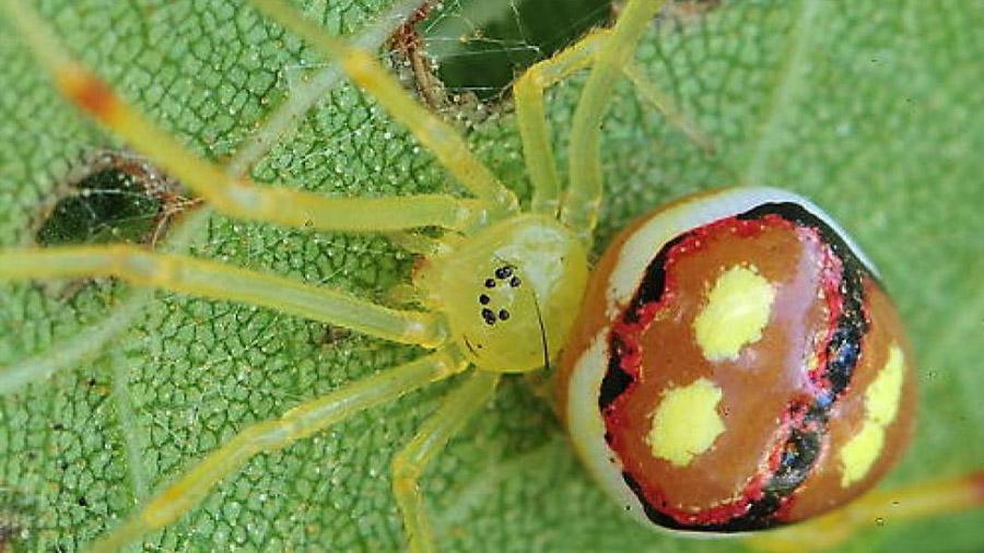 """Descubren quince nuevas especies de arañas """"sonrientes"""""""