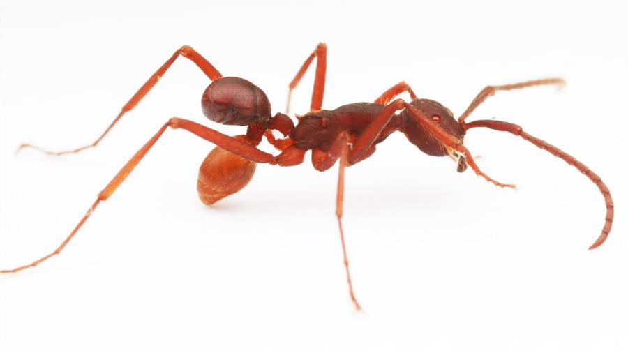 Una nueva especie de escarabajo de Costa Rica viaja sobre el abdomen de las hormigas