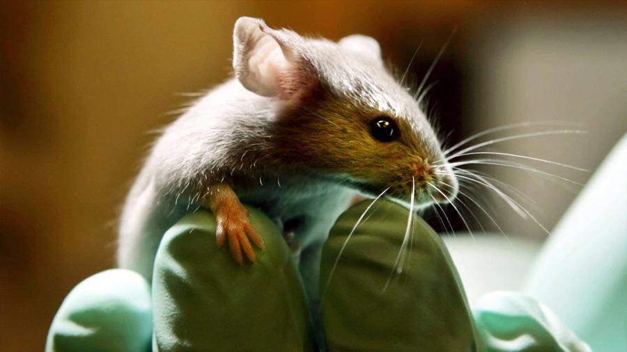 Proponen una terapia genética capaz de revertir la ceguera en ratones