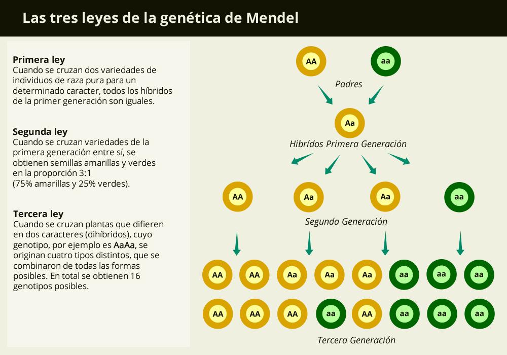 Las tres leyes de la genética de Mendel