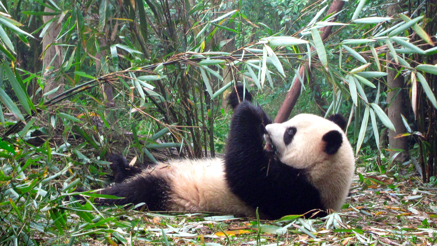 Los pandas ya no están peligro; su hábitat, sí