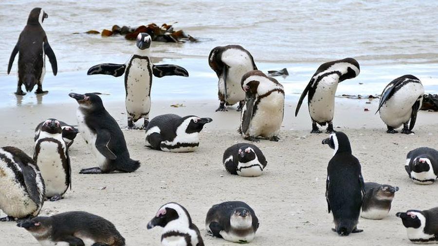 Video | Por primera vez, pingüinos fueron grabados cazando en equipo y de forma coordinada