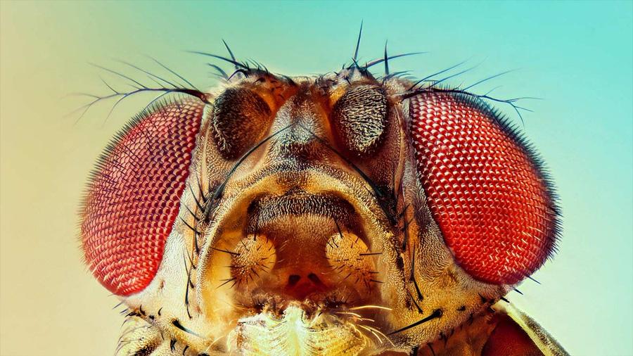 La humilde mosca de la fruta fue clave en 5 investigaciones que ganaron el premio Nobel de Medicina