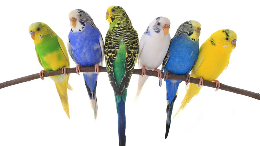 Verdes, azules o amarillas: un solo gen colorea las plumas de los periquitos
