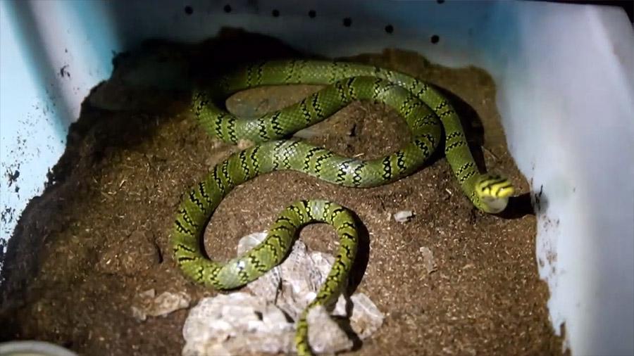 Científicos chinos crean una serpiente extremadamente rara
