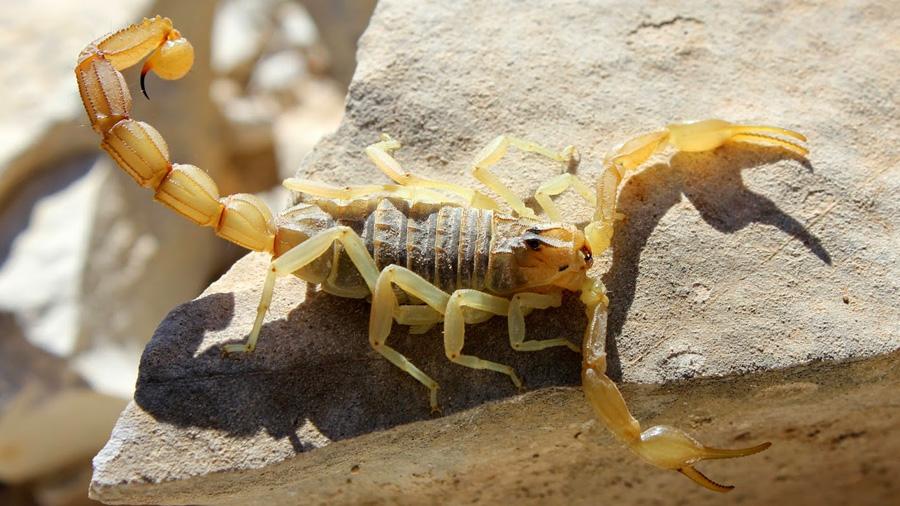 Los escorpiones gradúan el veneno según la presa
