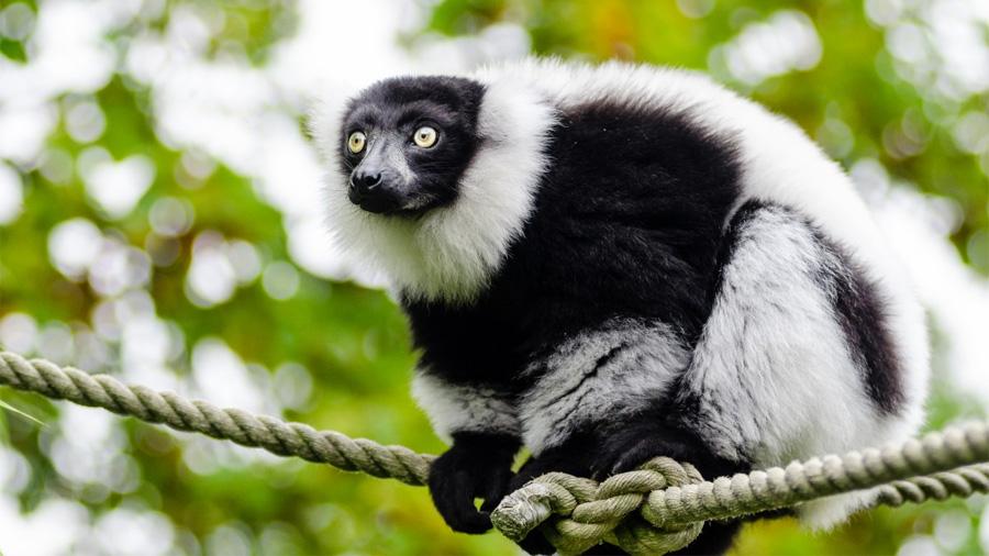 Antepasado común de los humanos y simios era más pequeño de lo que se piensa