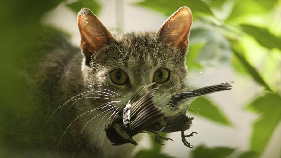 El depredador más peligroso de Australia no es el tiburón o la serpiente, sino el gato