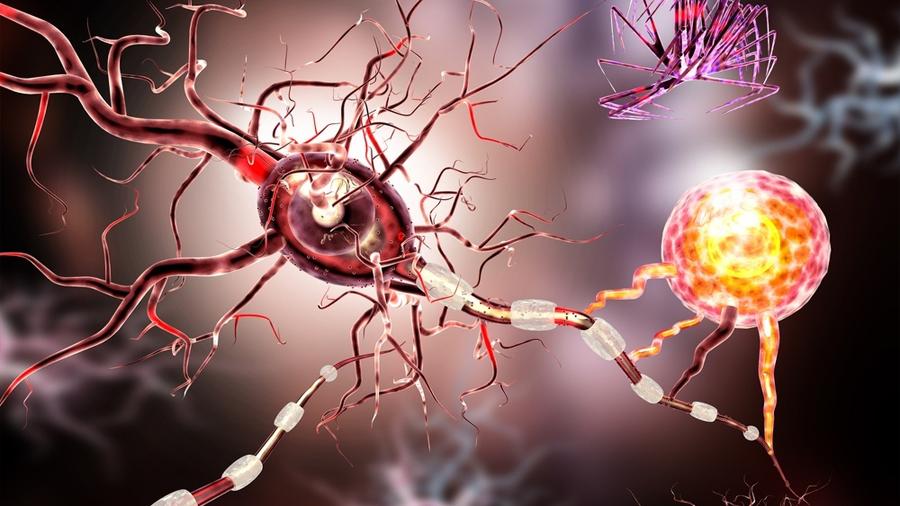 """Astrocitos, donantes de """"baterías"""" a neuronas en necesidad"""