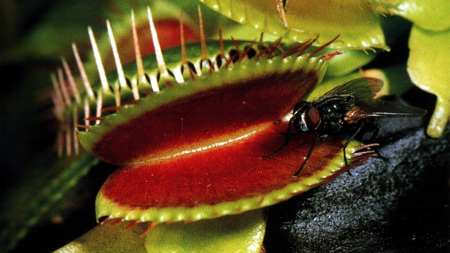 ¿Por qué hay plantas carnívoras?