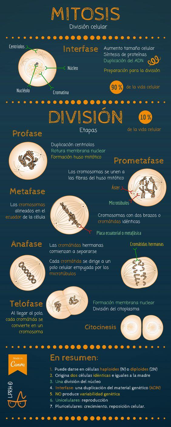 Mitosis, división celular