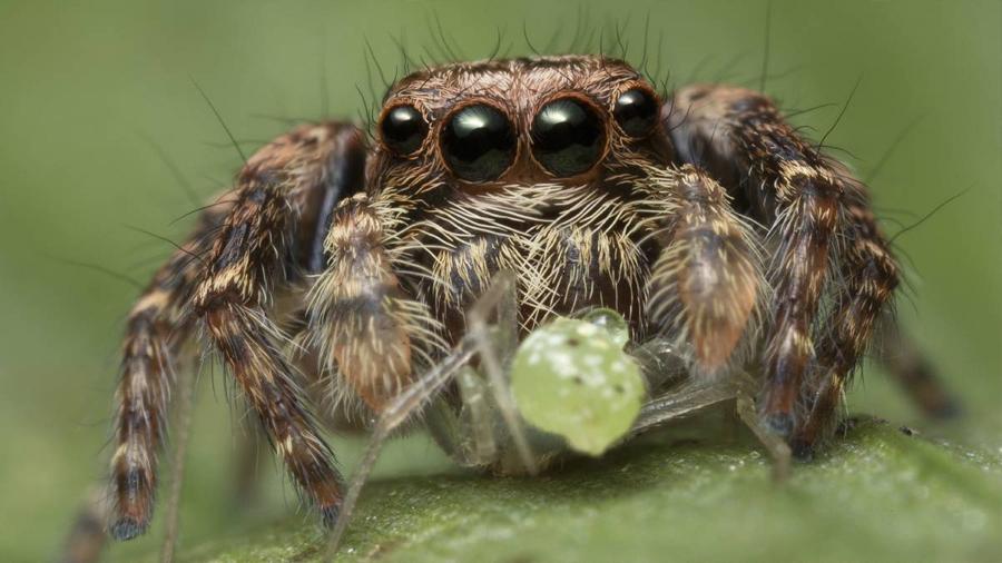 La araña que prueba el sexo solo una vez en la vida