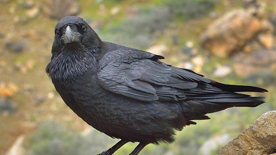 Construyen un prototipo para que los cuervos recojan colillas a cambio de comida