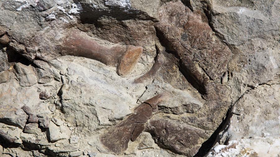 Aparece un esqueleto casi completo de tiranosaurio