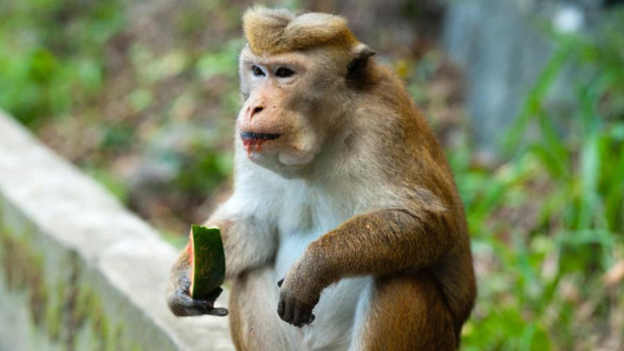 Una nueva proteína que inhibe el hambre logra que monos adelgacen un 10% de su peso en seis semanas