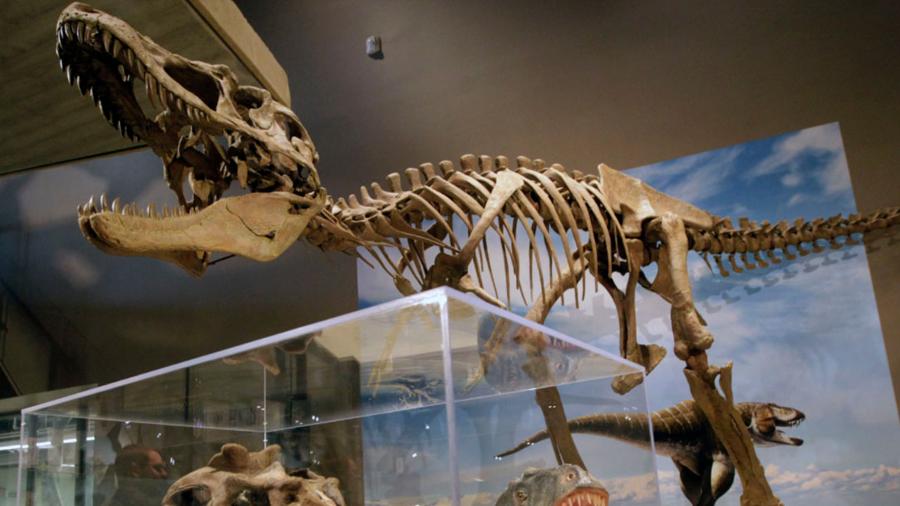 Descubren el esqueleto casi completo de un tiranosaurio en EU