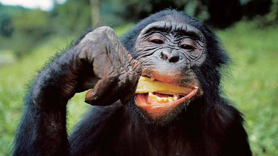 Los chimpancés generan y mantienen su personalidad durante décadas