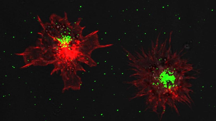 Descifran cómo se producen las células dendríticas en el timo humano
