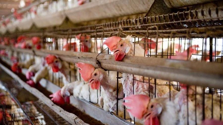 Logran modificar genes de gallinas para que los huevos contengan drogas contra el cáncer