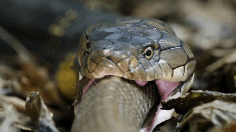 Así engulle por completo a su presa la serpiente venenosa más grande del mundo