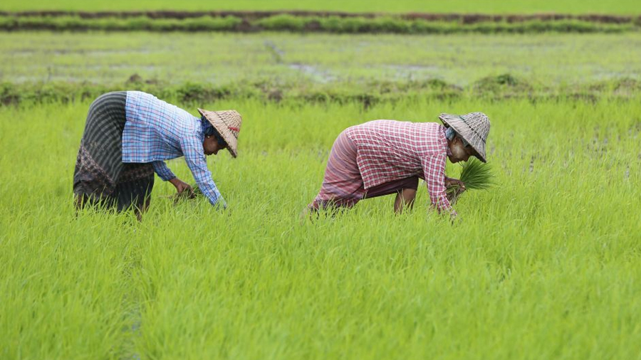 Científicos chinos logran crear un arroz que crece en agua salada