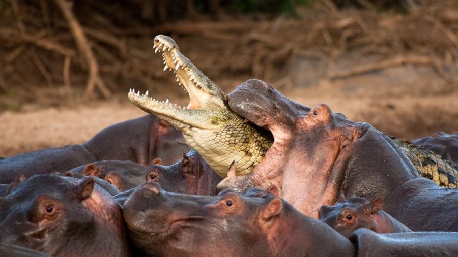 Hay cosas peores que un lago infestado de cocodrilos, y es un lago infestado de hipopótamos cuando eres un cocodrilo
