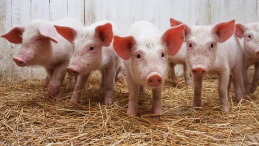 Crean cerdos 'bajos en grasa' modificados genéticamente