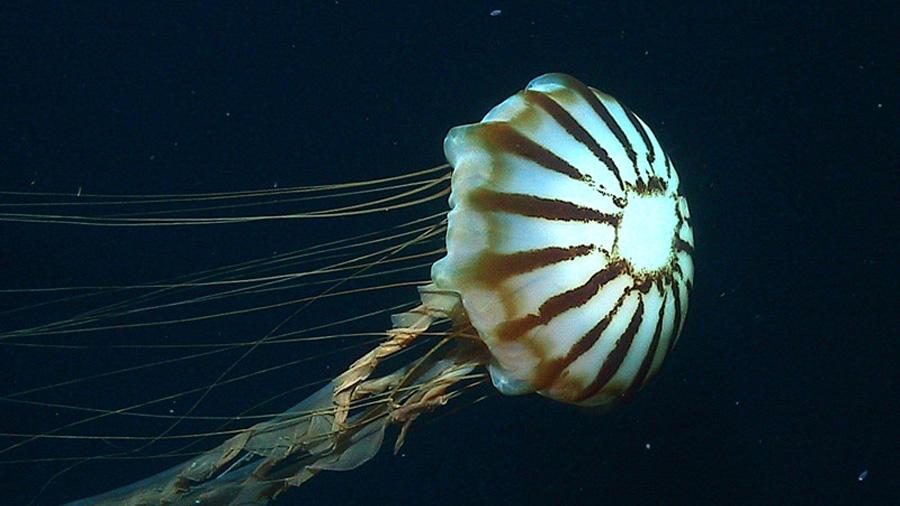 Captan por primera a una extraña medusa capaz de sobrevivir al invierno ártico