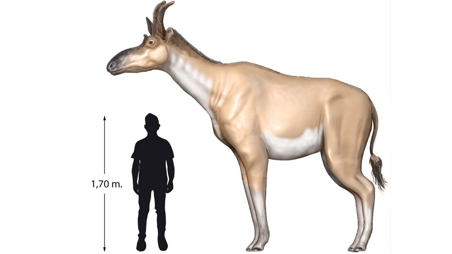 Una nueva especie ayuda a entender la evolución de las jirafas gigantes