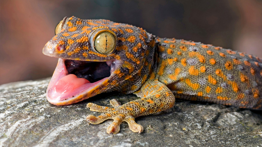 El adhesivo del futuro imita las habilidades de los 'geckos'