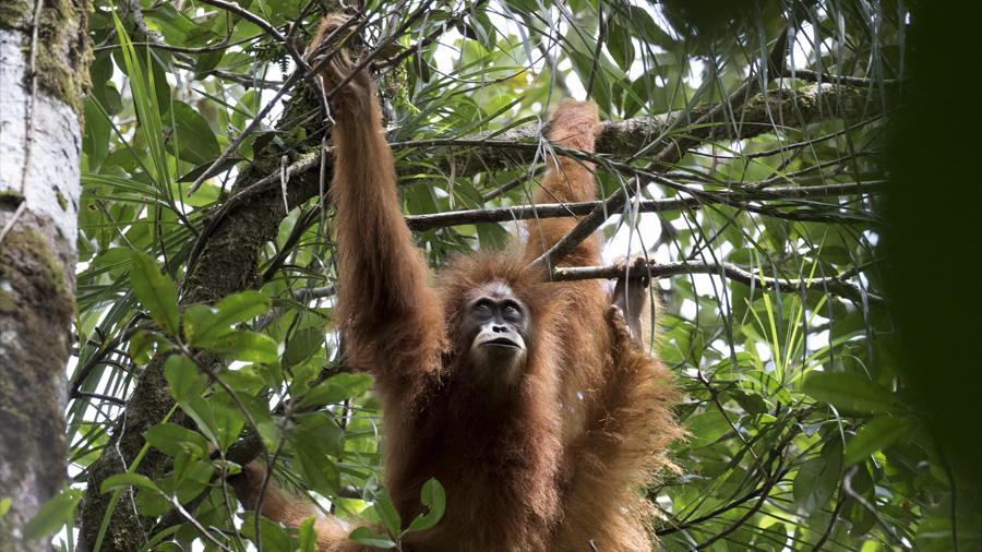 Descubren una nueva especie de orangutanes que está en peligro de extinción