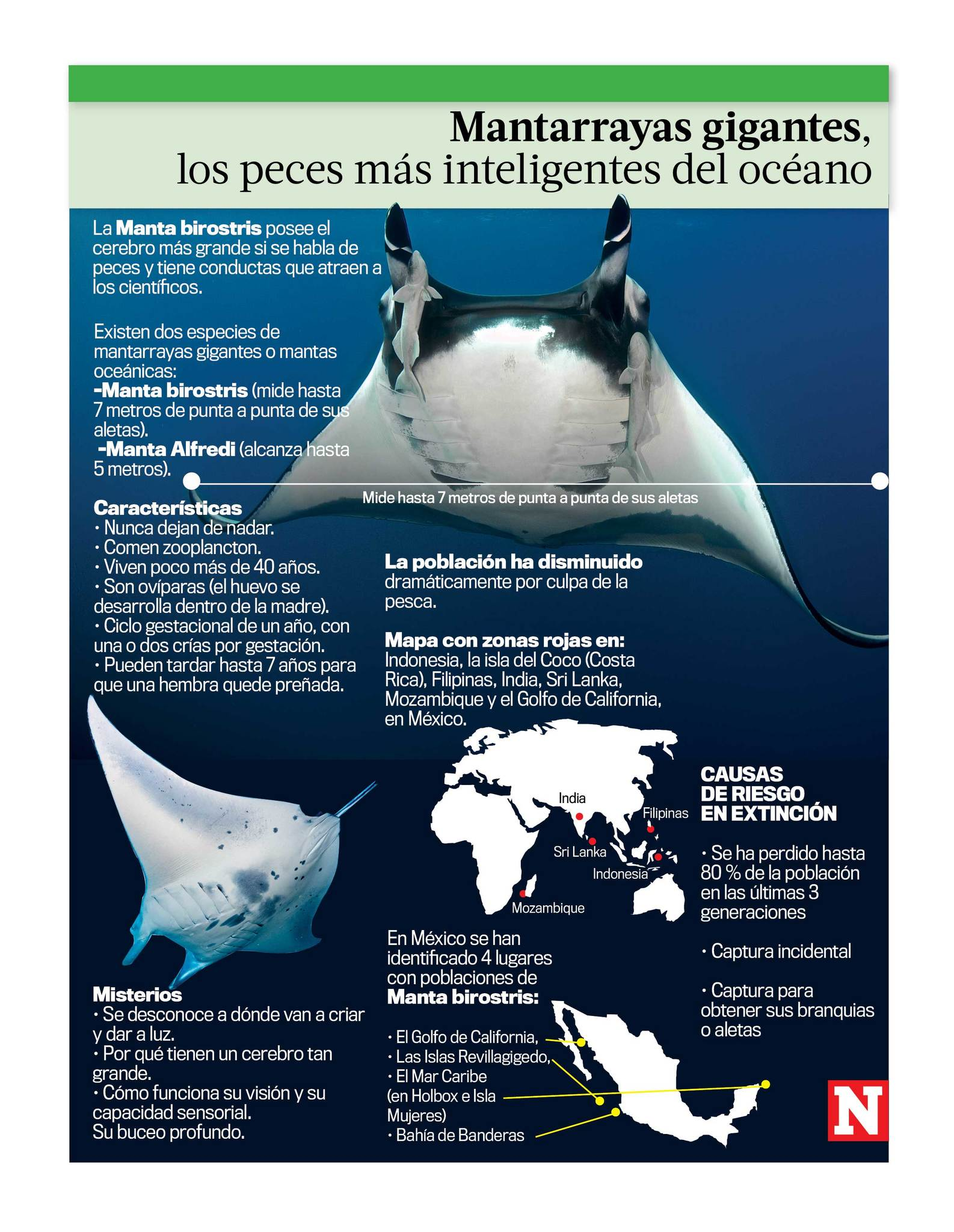 Mantarrayas gigantes los peces más inteligentes del océano