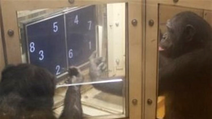 Chimpancés se turnan espontáneamente para resolver un problema numérico