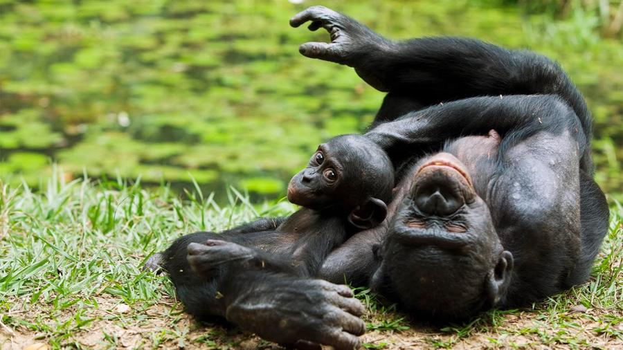 Los bonobos son bondadosos, cualidad humana exclusiva hasta ahora