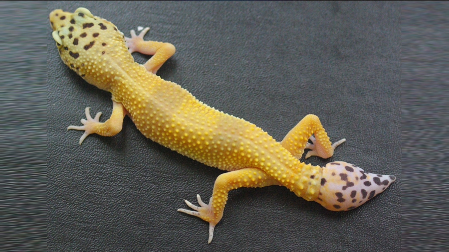 La ciencia explica cómo el geco regenera su cola, incluida su médula espinal