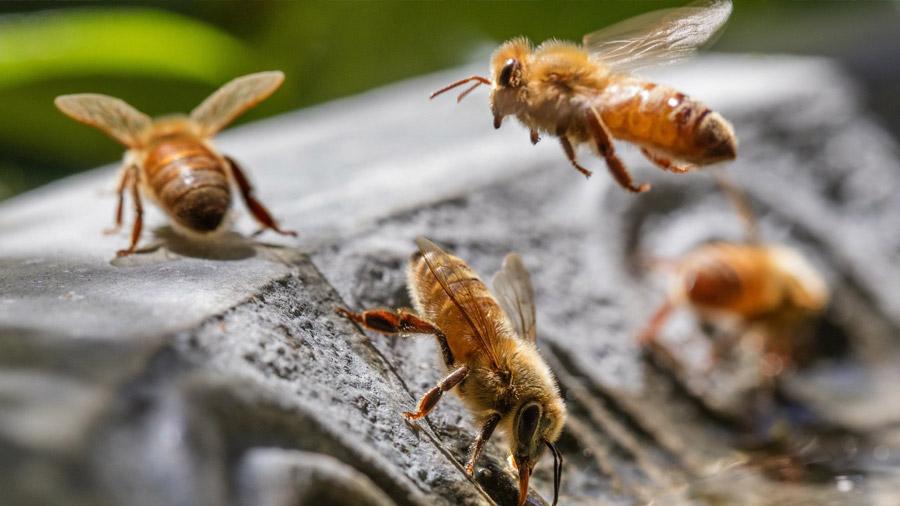 """Científicos descubren que hay abejas """"diestras"""" y """"zurdas"""""""