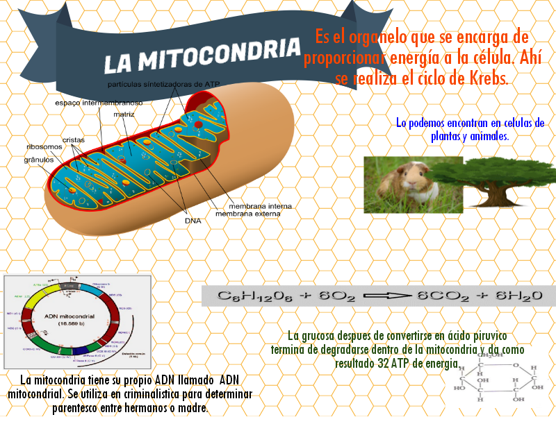 La mitocondria