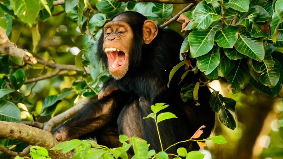 Solitarios, sociables y simpáticos: la reivindicación de las teorías de Jane Goodall sobre la personalidad de los chimpancés