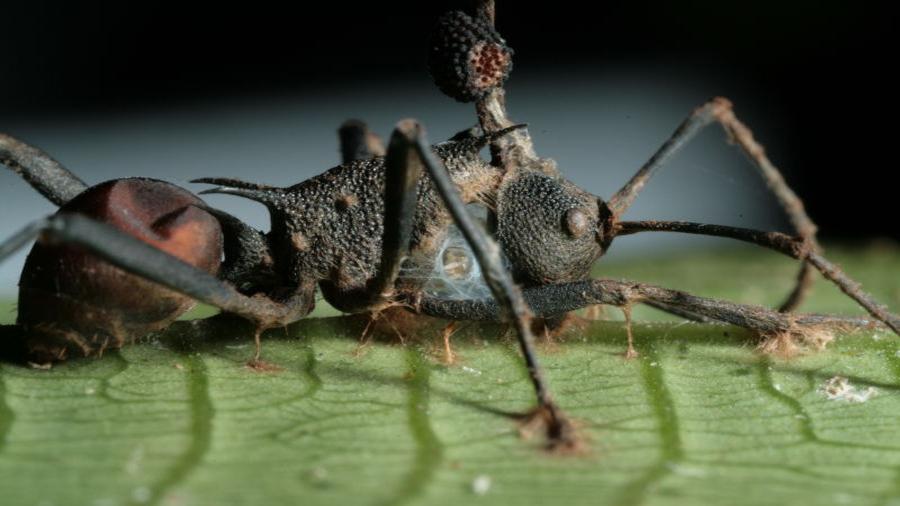 El hongo que convierte en zombis a las hormigas es mucho más diabólico de lo que imaginábamos