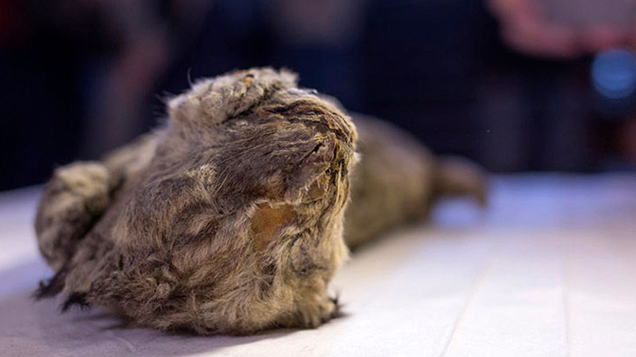 Encuentran un león de hace 55.000 años en tan buen estado que los científicos creen que su especie se podría resucitar