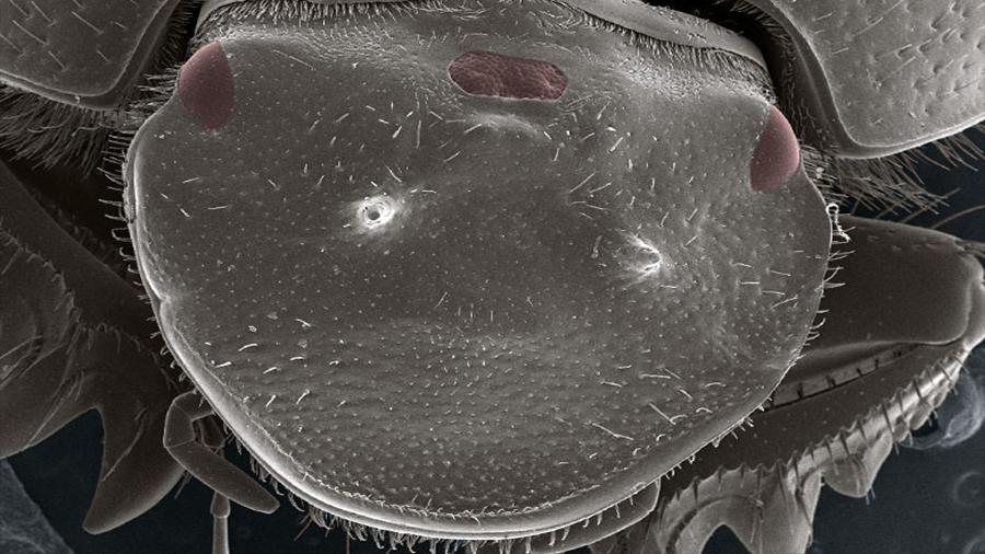 Biólogos crean un escarabajo con un tercer ojo extra