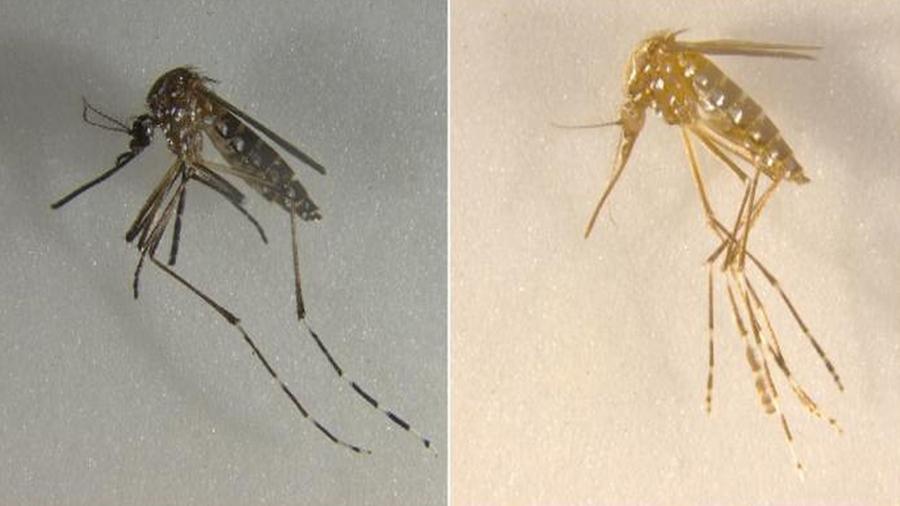 Tijeras moleculares crean mosquitos sin alas, con tres ojos y amarillos